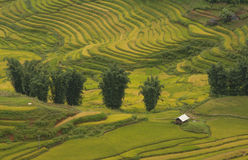 El arroz coloca en colgante de SAPA, Vietnam Los campos del arroz preparan la cosecha en Vietnam del noroeste Foto de archivo