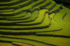 El arroz coloca en colgante en puesta del sol en MU Cang Chai, Yen Bai, Vietnam Imagenes de archivo