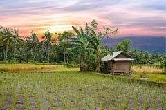 El arroz coloca en Lombok en Indonesia en la puesta del sol Imagen de archivo libre de regalías