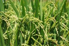 El arroz crece Foto de archivo