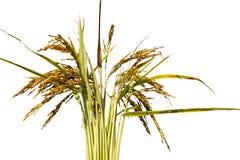 El arroz crece en el fondo blanco foto de archivo