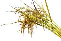El arroz crece en el fondo blanco Fotos de archivo libres de regalías