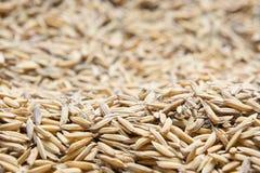El arroz de arroz, arroz de arroz tiene no descascar hacia fuera Foto de archivo libre de regalías