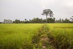 El arroz de arroz del jazmín con el árbol grande y el fondo nublado Imagen de archivo libre de regalías