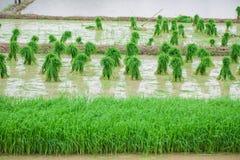 El arroz de arroz se prepara para plantar Imagen de archivo libre de regalías