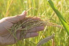 El arroz de la manija se prepara Imagen de archivo