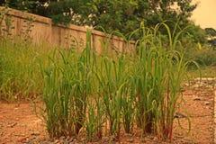 El arroz de la selva, hierba escarda en arroz y muchos cultivos en campo Fotos de archivo libres de regalías