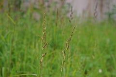 El arroz de la selva, hierba escarda en arroz y muchos cultivos en campo Imagen de archivo