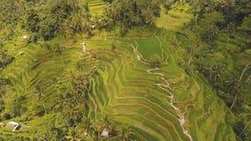 El arroz de la terraza coloca en Ubud, Bali, Indonesia almacen de metraje de vídeo