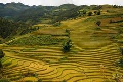 El arroz de Terrced coloca - campos colgantes del arroz del oro en MU Cang Chai Imágenes de archivo libres de regalías