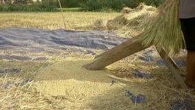 El arroz de trilla del granjero, trilla el arroz, cultivo del arroz almacen de metraje de vídeo