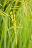 El arroz en el arroz sale del fondo Fotografía de archivo