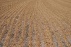 El arroz en la tierra bajo luz del sol fotografía de archivo