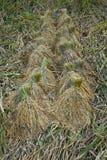 El arroz jadea arroz de arroz espigas de lazo del trigo Foto de archivo libre de regalías