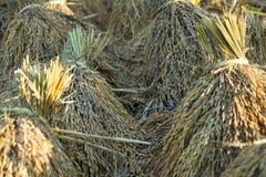 El arroz jadea arroz de arroz espigas de lazo del trigo Fotografía de archivo