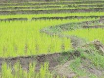El arroz joven listo al crecimiento en arroz coloca Imágenes de archivo libres de regalías