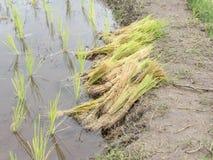 El arroz joven listo al crecimiento en arroz coloca Imagenes de archivo