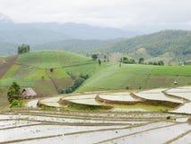 El arroz joven listo al crecimiento en arroz coloca en colgante Imagen de archivo libre de regalías