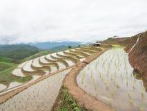 El arroz joven listo al crecimiento en arroz coloca en colgante Fotografía de archivo libre de regalías