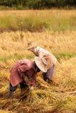 El arroz más havest de los granjeros tailandeses en granja Foto de archivo