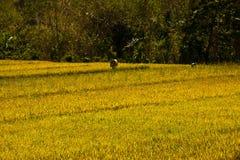 El arroz se avienta en Bali, Indonesia Foto de archivo