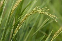 El arroz tailandés verde joven del jazmín en el arroz archivó por la mañana con la profundidad del campo baja Foto de archivo