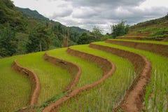 El arroz verde coloca en junio, Sapa Fotos de archivo