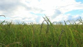 El arroz verde coloca, los paisajes de las hermosas vistas en Tailandia metrajes