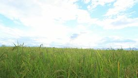 El arroz verde coloca, los paisajes de las hermosas vistas en Tailandia almacen de video