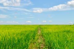 El arroz verde enorme coloca con las nubes y el cielo Fotografía de archivo libre de regalías