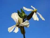 El Arugula florece con descensos de rocío contra el cielo azul fotos de archivo libres de regalías