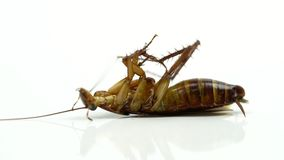 El asahinai del Blattella de las cucarachas se rocía con los insecticidas y la mentira en el fondo blanco almacen de metraje de vídeo