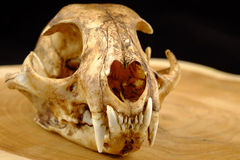 El asiático goldden colmillo del gato o del gato de Temminck el cráneo y Foto de archivo libre de regalías