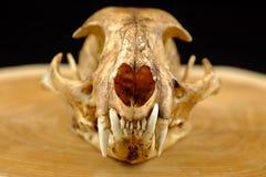 El asiático goldden colmillo del gato o del gato de Temminck el cráneo y Imágenes de archivo libres de regalías
