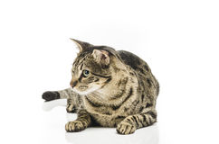 El asiento europeo del gato del shorthair en la mirada inconsútil blanca se fue Foto de archivo libre de regalías