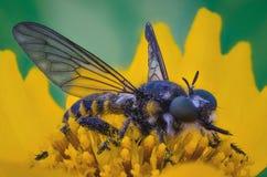 El Asilidae es la familia de la mosca de ladrón Foto de archivo libre de regalías