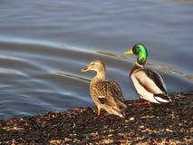 El asolear de los patos silvestres Imagen de archivo libre de regalías