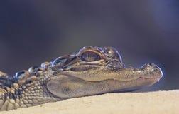 El asolear del cocodrilo del bebé Foto de archivo libre de regalías