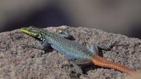 El asolear plano colorido del lagarto de Sekukhune metrajes