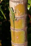 El asolear verde hawaiano del Gecko Imagen de archivo