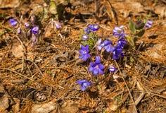 El aspecto de la primavera azul joven florece de debajo el ` s d del año pasado Imagen de archivo libre de regalías