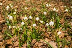 El aspecto de la primavera blanca joven florece de debajo el ` s del año pasado Imagen de archivo