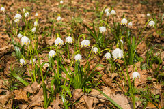 El aspecto de la primavera blanca joven florece de debajo el ` s del año pasado Imagenes de archivo