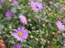 El aster en un jardín del otoño, flores violetas con el fondo verde Flores florecientes fotografía de archivo libre de regalías