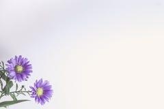 El aster florece la esquina de la frontera Fotos de archivo libres de regalías