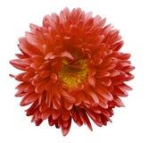 El aster rojo de la flor en un blanco aisló el fondo con la trayectoria de recortes Florezca para el diseño, textura, postal, env Fotos de archivo