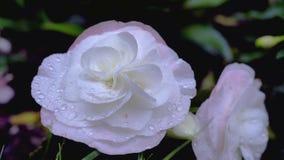 El aster rosado blanco hermoso florece en el jardín/las flores rosadas blancas hermosas del aster en el jardín Foto de archivo libre de regalías