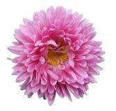 El aster rosado brillante de la flor en un blanco aisló el fondo con la trayectoria de recortes Florezca para el diseño, textura, Foto de archivo