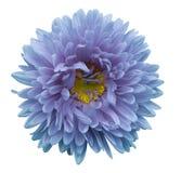 el aster Turquesa-violeta de la flor en un blanco aisló el fondo con la trayectoria de recortes Florezca para el diseño, textura, Foto de archivo