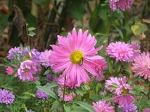 El Astra en el macizo de flores Imagen de archivo libre de regalías